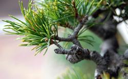 acículas de pino blanco japonés bonsái