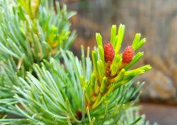 hojas y flores femeninas de pino parfiflora bonsai
