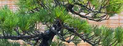 tronco de pinus parviflora