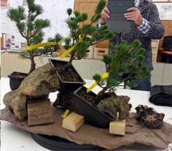 trasplante de pino blanco japonés en un saikei bonsai