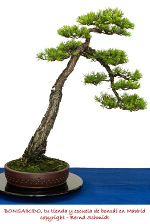 pino sylvestris
