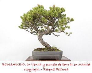 pino sylvestris pendiente de alambrar