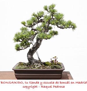 pino sylvestris modelado como bonsai