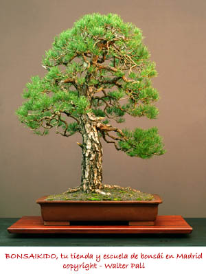 bonsai pino sylvestris