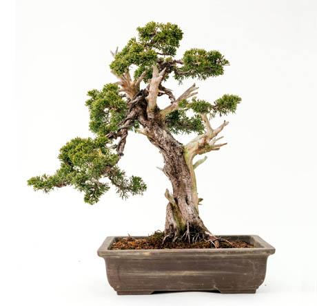 Ficus Retusa Fichas De Bonsai Por Especie De Bonsaikido